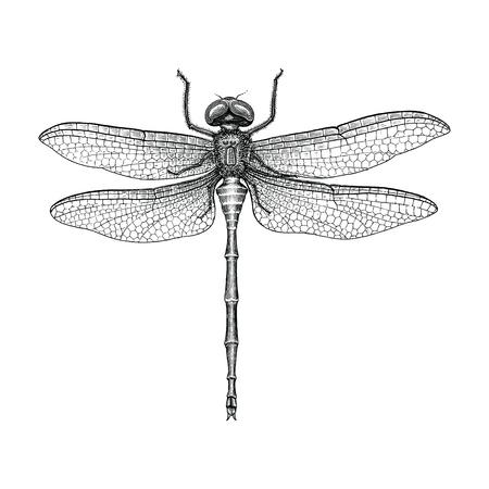 Libellula disegno a mano vintage illustrazione incisione