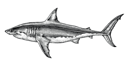 Great white shark hand drawing vintage engraving illustration Stockfoto - 102871295