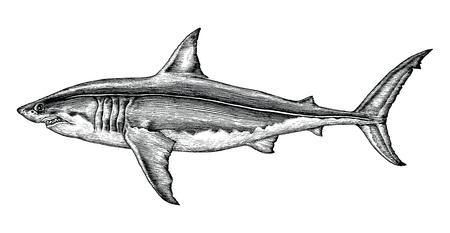 Great white shark hand drawing vintage engraving illustration Reklamní fotografie - 102871295