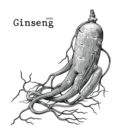Ginseng hand drawing vintage engraving illustration