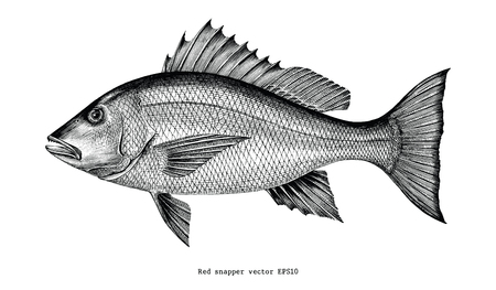 Red snapper hand drawing vintage engraving illustration isolated on white background Vectores