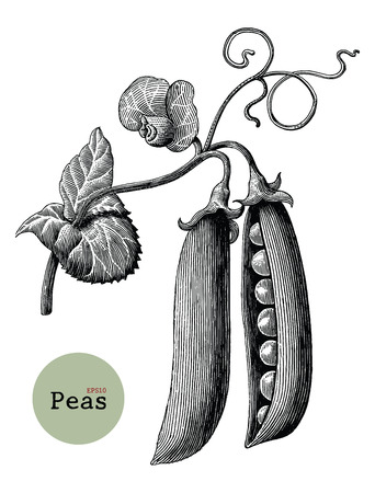 Peas branch hand drawing vintage engraving illustration