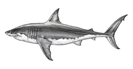 Gran tiburón blanco dibujo a mano ilustración de grabado vintage Ilustración de vector