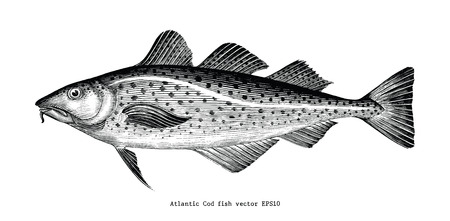 Atlantic Cod fish hand drawing vintage engraving illustration Standard-Bild - 121826744