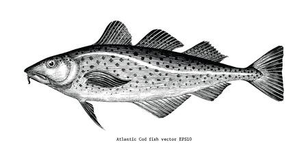 Dessin à la main de la morue de l'Atlantique illustration de gravure vintage