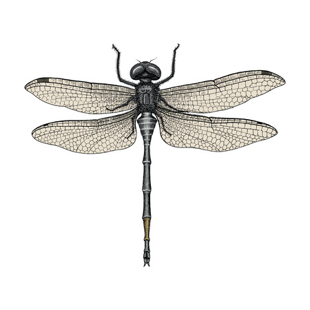 Dragonfly hand drawing vintage engraving illustration Imagens - 102873028