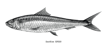 Sardine fish hand drawing vintage engraving illustration 矢量图像