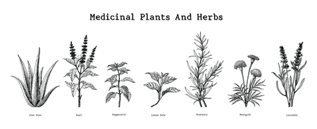 Medicinal plants and herbs hand drawing vintage engraving illustration Illustration