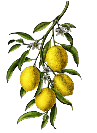 Lemon branch illustration black and white vintage clip art isolate on white background Banco de Imagens