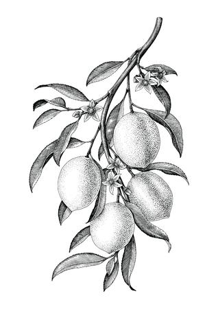 Gałąź cytryny ilustracja czarno-biały vintage clipart izolować na białym tle