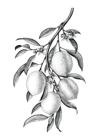 Lemon branch illustration black and white vintage clip art isolate on white background Vectores