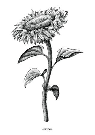 Girasole disegno a mano in bianco e nero vintage clip art isolati su sfondo bianco Vettoriali
