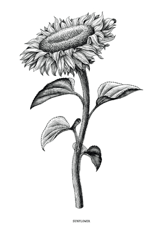 Sunflower hand drawing black and white vintage clip art isolated on white background