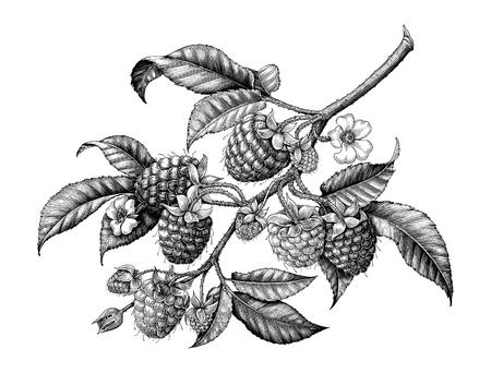 Main de branche de framboise dessin clipart vintage noir et blanc isolé sur fond blanc