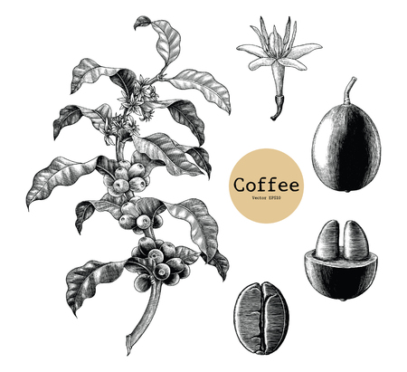 Coffee branch,Coffee flower,Coffee bean hand drawing vintage clip art isolated on white background Иллюстрация