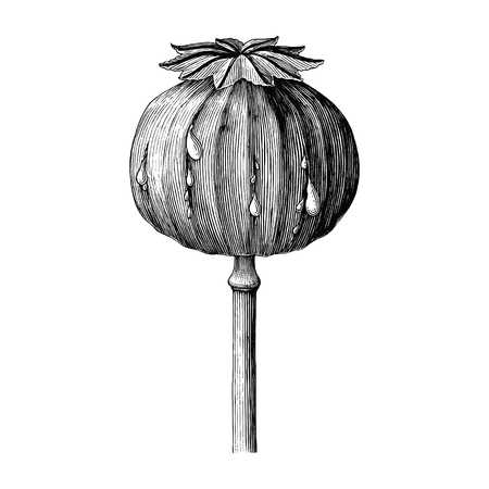 Poppy hand drawing vintage clip art isolated on white background Illustration