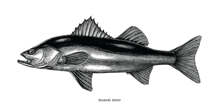 Seabass hand draw vintage clip art isolated on white background