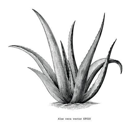 Aloe vera hand draw vintage botanical clip art isolated on white background Vettoriali