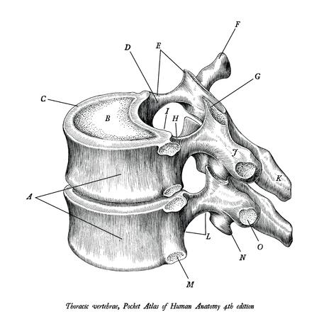 Imágenes prediseñadas de ilustración vintage de anatomía de vértebras torácicas aislado sobre fondo blanco con descripción