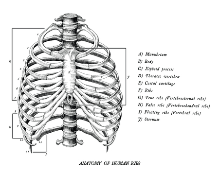 Anatomía de las costillas humanas dibujar a mano imágenes prediseñadas vintage aislado sobre fondo blanco. Ilustración de vector
