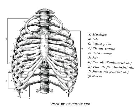 Anatomia delle costole umane disegnare a mano clip art vintage isolati su sfondo bianco Vettoriali