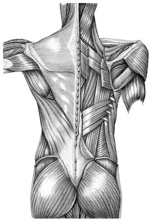 Anatomie der oberflächlichen Muskeln zurück Weinleseillustration Schwarzweiss lokalisiert auf weißem Hintergrund