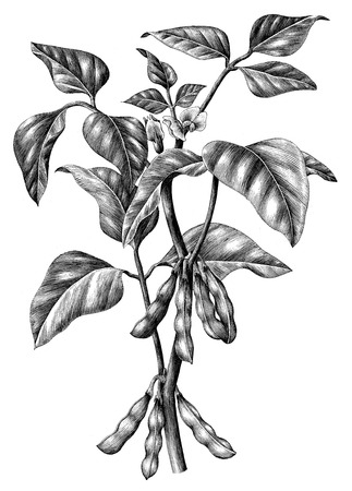 Soy branch botanical hand draw vintage clip art isolated on white background Stock Photo