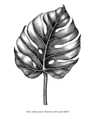 Monstera leaf hand draw vintage engraving clip art isolated on white background