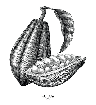 Cocoa plant hand draw vintage engraving style isolated on white background