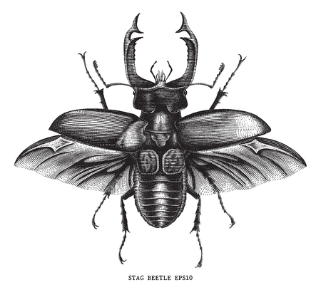 Antique of insect stag   bug illustration engraving vintage style isolated on white background Standard-Bild - 116950608