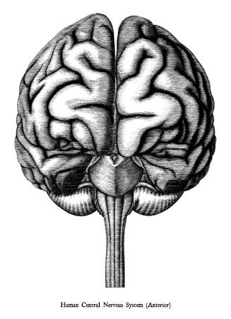 Antique illustration of human brain engraving style isolated on white background Standard-Bild - 118470630