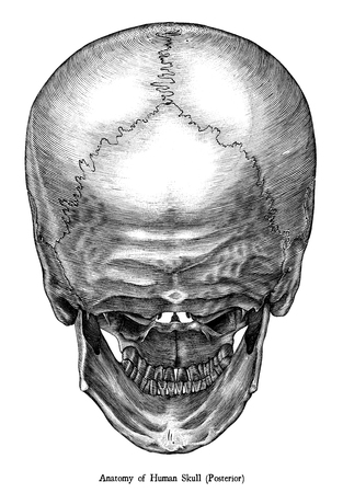 Antique engraving illustration clip art  of Human skull anatomy posterior view isolated on white background 写真素材