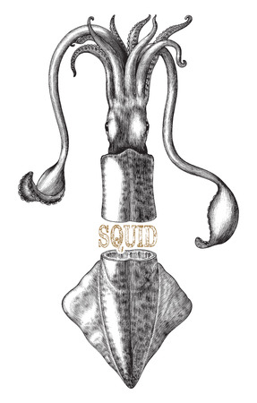 Antique engraving illustration of Squid black and white clip art isolated on white background with text banner  イラスト・ベクター素材