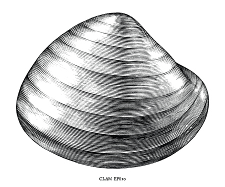 Antique engraving illustration of Clam black and white clip art isolated on white background