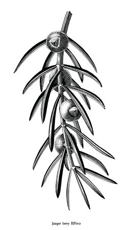 Antique engraving illustration of Juniper berry drawing vintage style black and white clipart isolated on white background 向量圖像