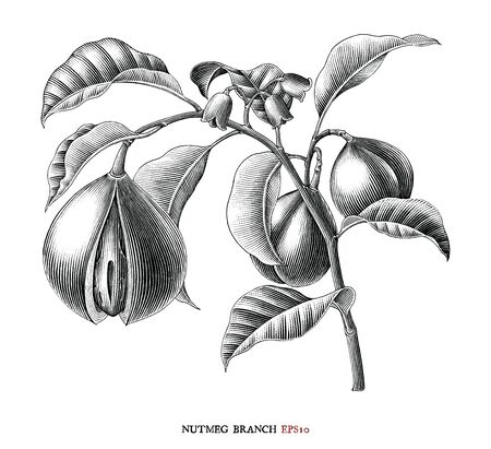 Nutmeg branch botanical drawing vintage style black and white clipart isolated on white background