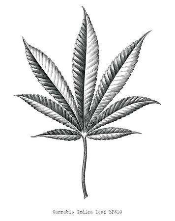 Cannabis Indica leaf hand draw vintage engraving style black and white clip art isolated on white background,Cannabis Indica leaf botanical for education Illustration