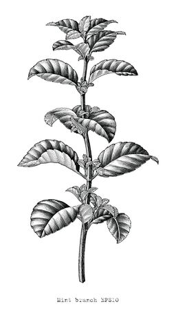 Peppermint branch hand draw vintage style Black and White clip art isolated on white background