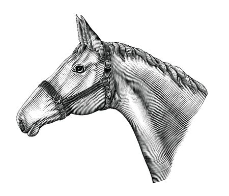Illustration of horse head hand draw vintage engraving style black and white clip art isolated on white background