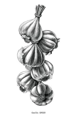 Antique engraving illustration of garlic hand draw black and white clip art isolated on white background