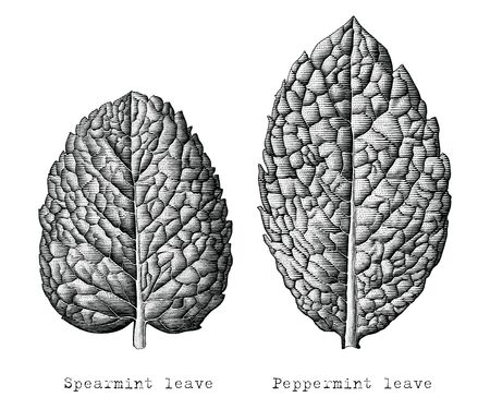 Antique engraving illustration of Mint leaves hand draw black and white clip art isolated on white background