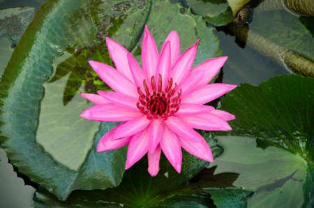 pink lotus flower blooming Stock Photo