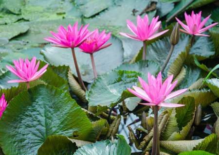 pink lotus flower blooming Stock Photo - 14602220