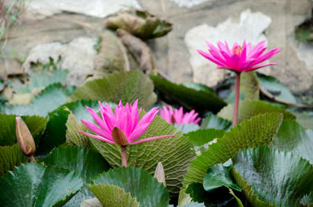 pink lotus flower blooming Stock Photo - 14602212