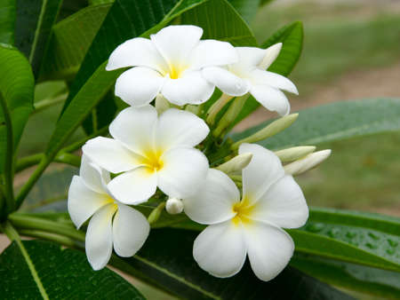 Frangipani tropical flowers Stock Photo - 14602206