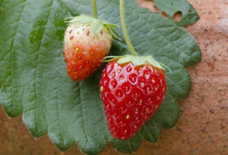 Strawberries growing on the vine