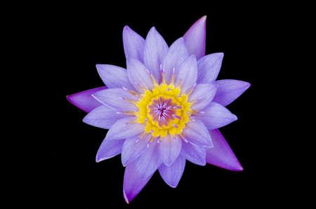 Purple lotus on black background