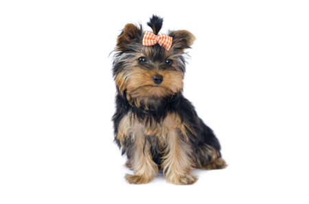 Yorkshire Terrier  3 months  Stock Photo