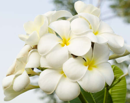 Frangipani tropical flowers