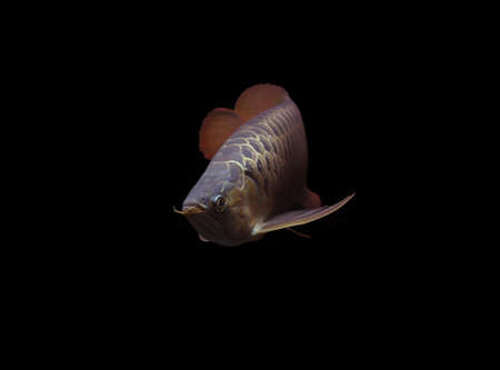 SuperRed Arowana on black background Stock Photo - 18134503